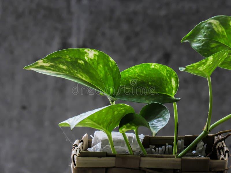 金钱植物,金黄pothos, Drevi ` s常春藤,常绿藤本植物aureum植物 免版税库存图片