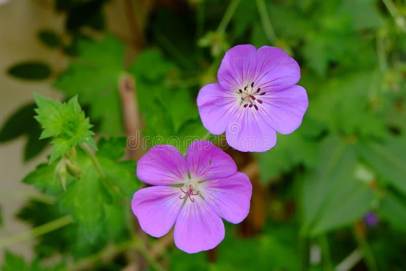 金银细丝工的紫色野花 免版税库存图片