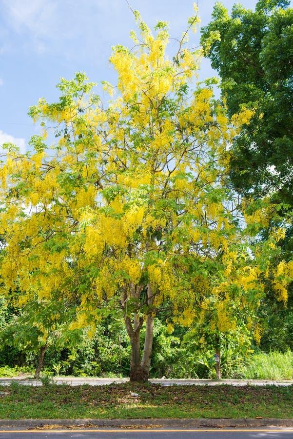 黄金雨树美丽的花  免版税库存图片