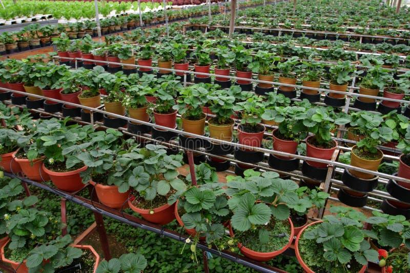 金马仑高原的,马来西亚Hydrophonic种植园 免版税库存照片