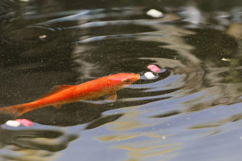 金鱼从水表面的采摘食物 库存照片