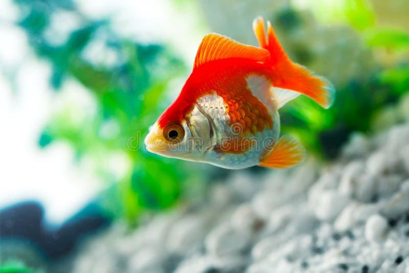 金鱼吮 库存照片