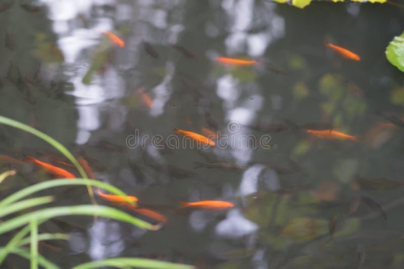 金鱼和灰色小鱼游泳在池塘 库存照片
