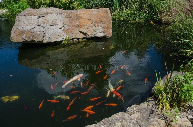 金鱼在一个小湖在庭院里 库存照片