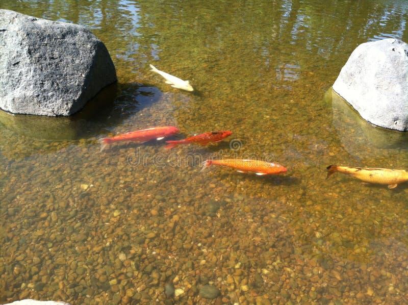 金鱼在日本庭院池塘 免版税库存照片