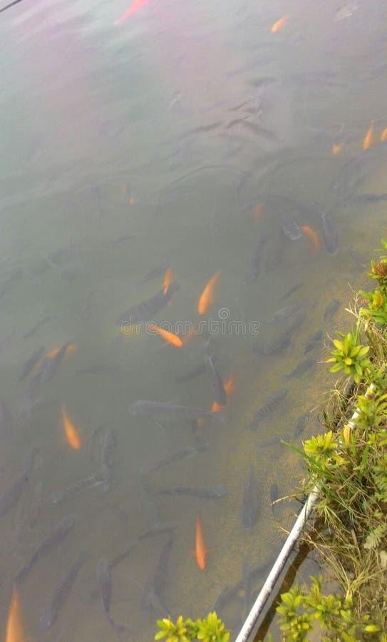 金鱼在池塘在台湾 库存图片