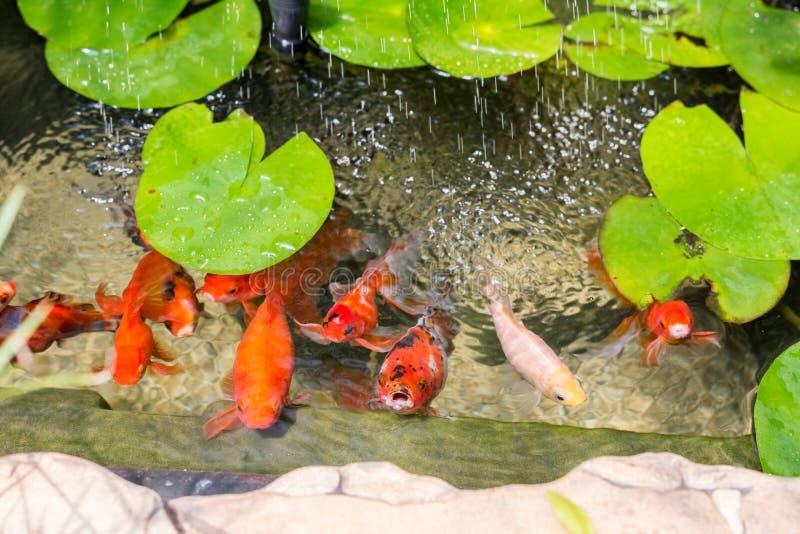 金鱼在自然池塘 库存图片