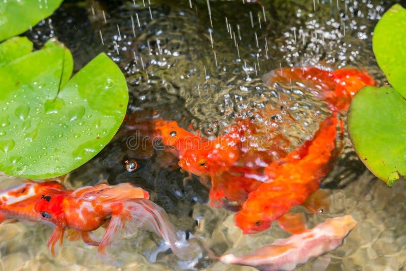 金鱼在自然池塘 免版税库存照片