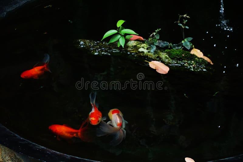 金鱼游泳在池塘 库存照片