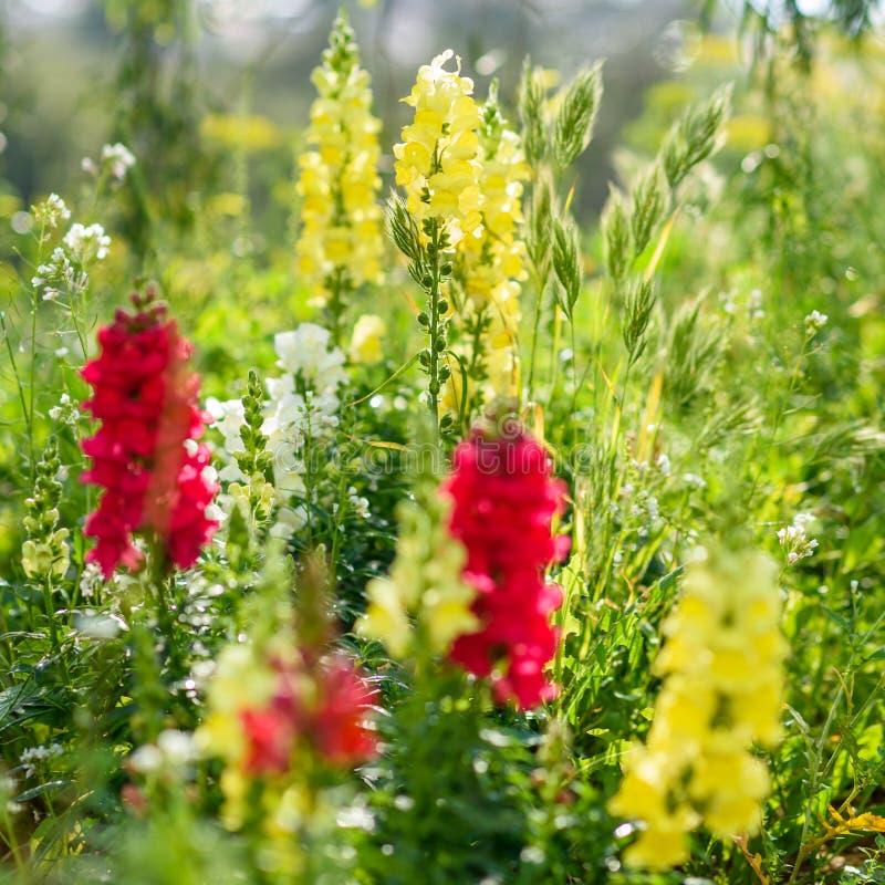 金鱼草属是一般叫作龙花或snapdragons的植物类  库存照片