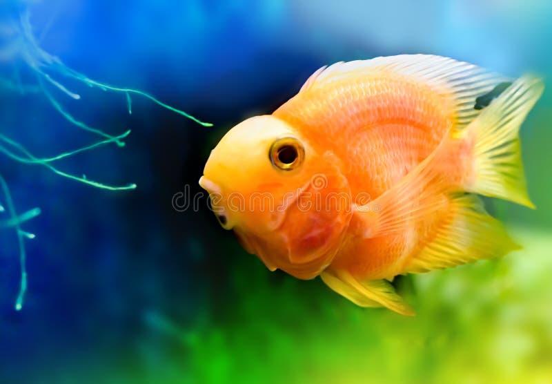 金鱼,橙色五颜六色的鱼 免版税库存图片