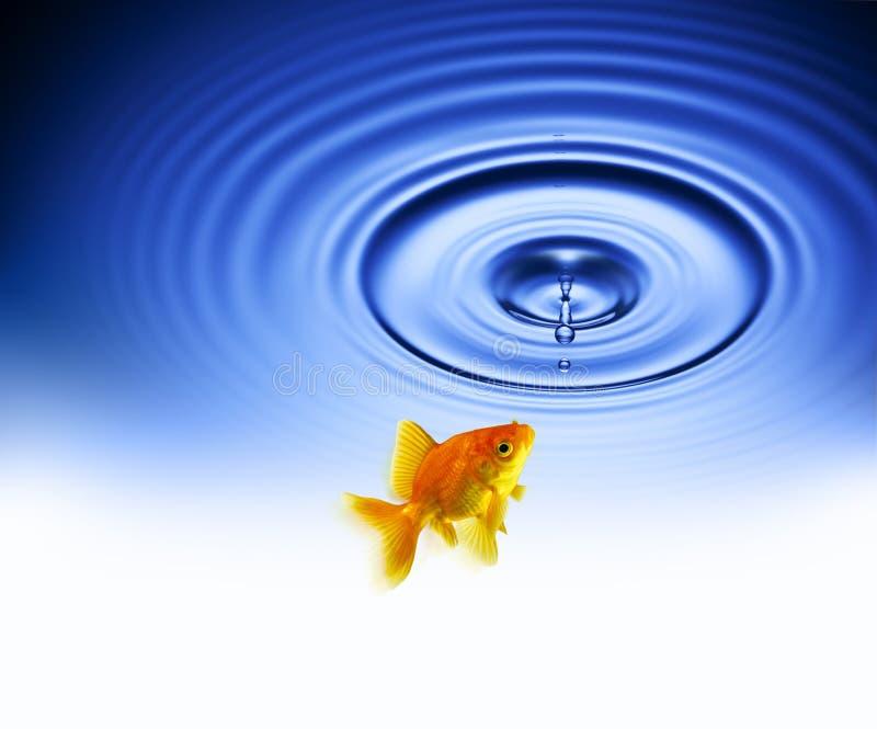 金鱼水下落波纹 免版税库存照片