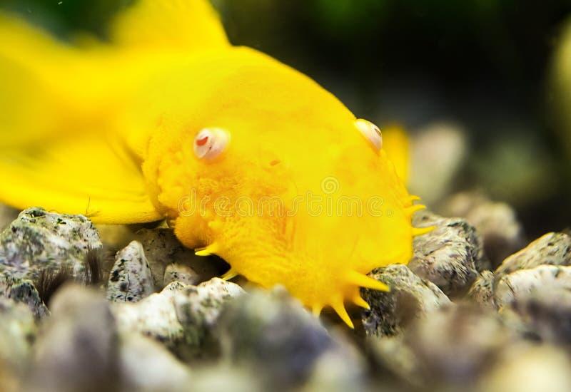 金鲶鱼 库存图片