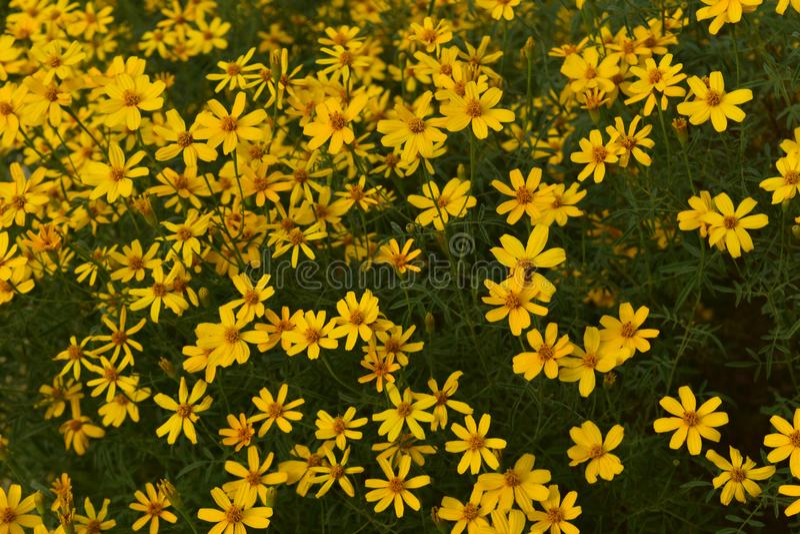 金鸡菊花的明亮的黄色瓣 免版税库存图片
