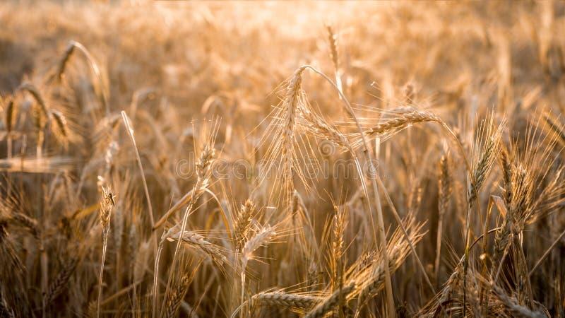 金麦子庄稼飞行的风景美丽的景色在西班牙 免版税库存图片