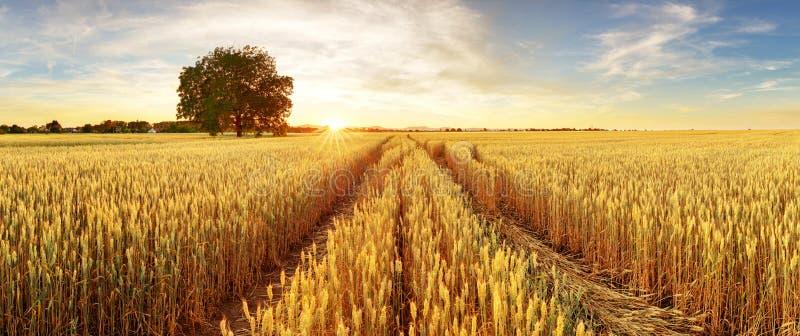 金麦子飞行了有树的在日落,农村乡下全景 免版税库存图片
