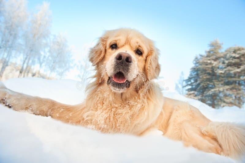 金黄可爱的猎犬 免版税库存照片