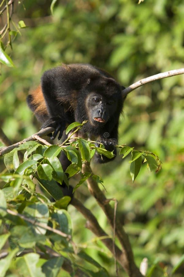 金黄嗥叫被覆盖的猴子 免版税库存照片