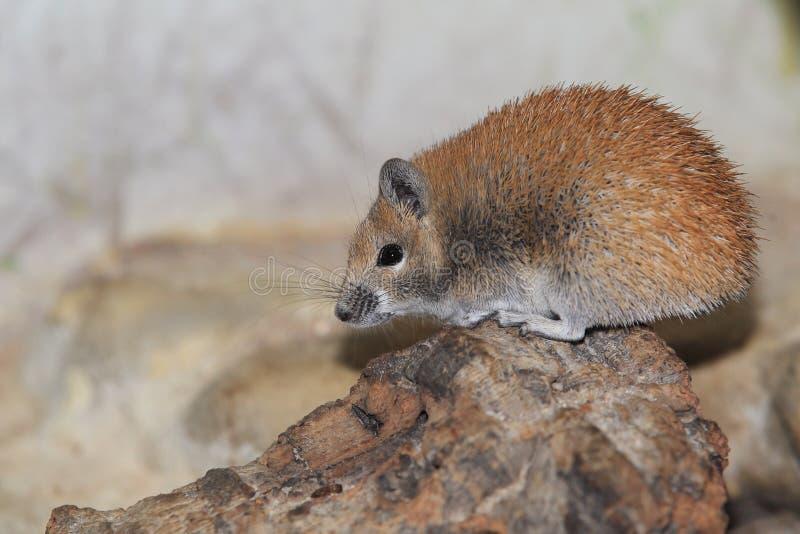 金黄多刺的老鼠 免版税库存照片