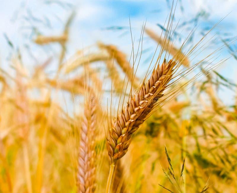 金黄大麦的耳朵 图库摄影