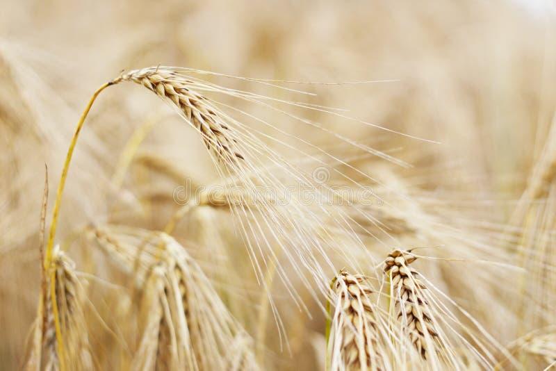 金黄大麦的耳朵 免版税图库摄影