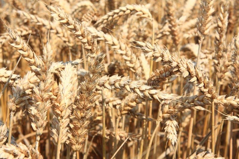 金黄大麦的领域 图库摄影