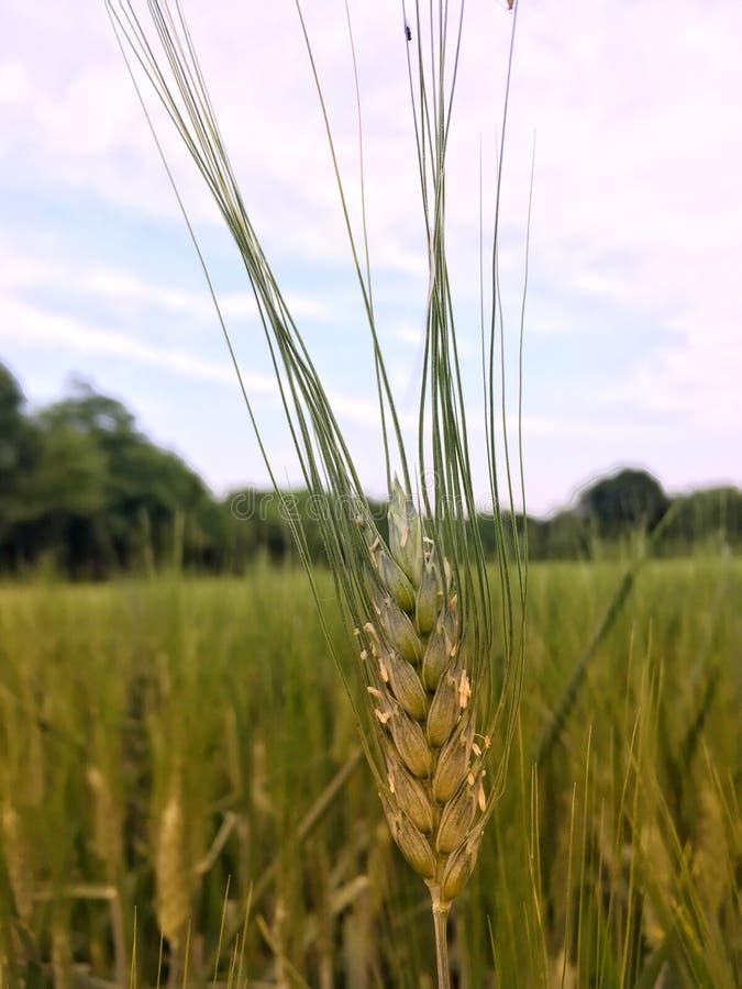 金黄小时和干草草 库存图片