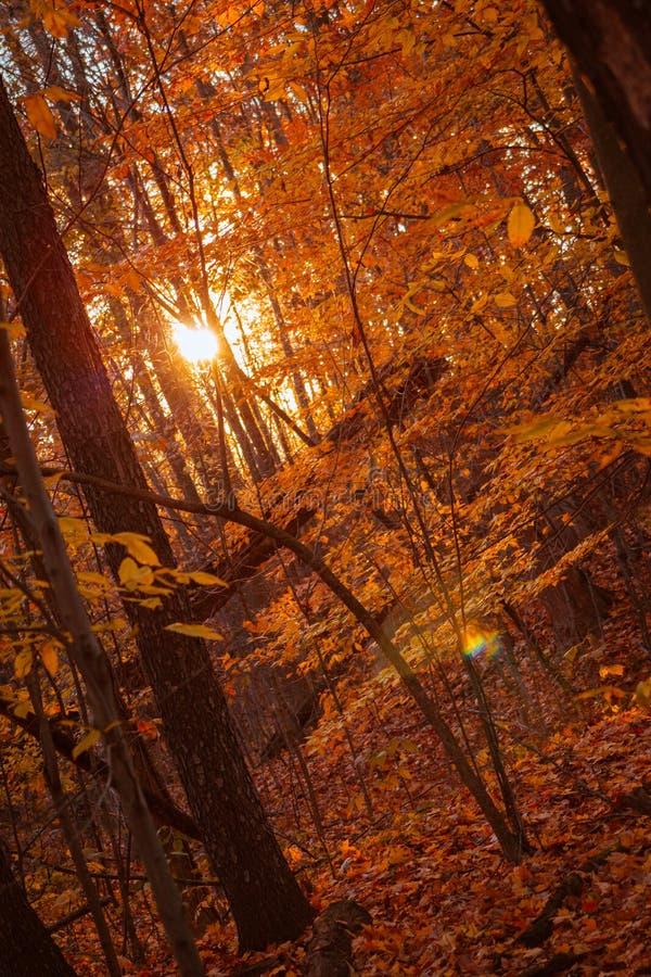 金黄小时在森林,当太阳通过树是光亮的在一秋天天时 免版税图库摄影