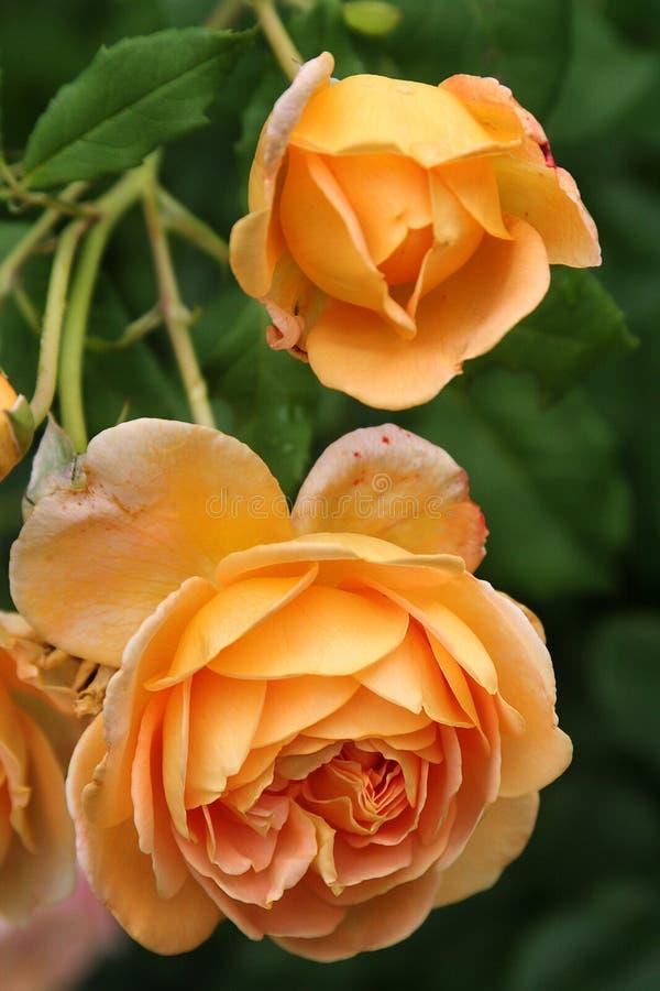 金黄庆祝英国玫瑰垂悬重在豪华的夏天叶子中 免版税库存照片