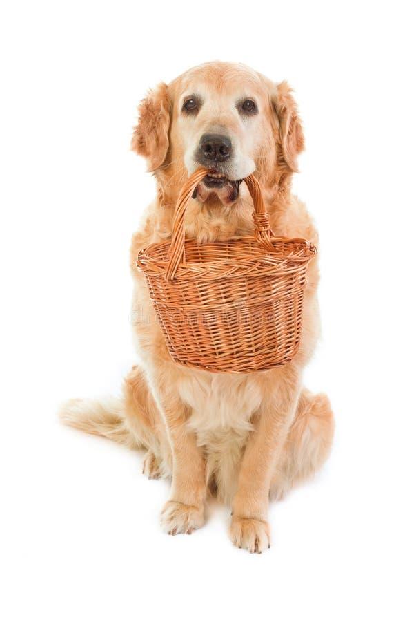 金黄暂挂箩猎犬柳条 库存照片