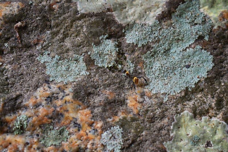 金黄木蚂蚁,宏观看法,连续跟随在岩石在El的伊甸园热带密林,巴亚尔塔港,墨西哥 免版税库存图片