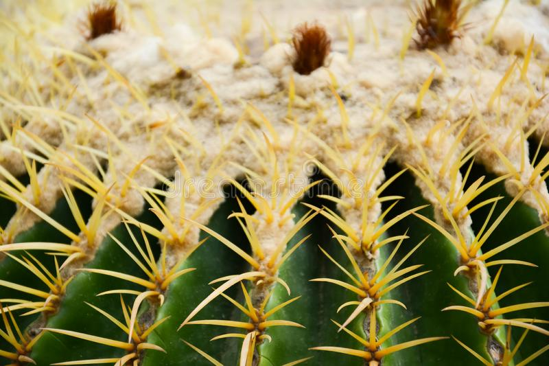 金黄桶式仙人掌或Echinocactus grusonii Hildm,这是许多刺的沙漠树,它的身体看起来绿色 图库摄影
