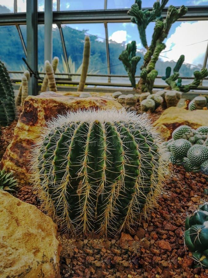 金黄桶式仙人掌echinocactus grusonii Echinocactus的特写镜头图象 纤管和多刺的仙人掌脊椎 非常危险 免版税图库摄影