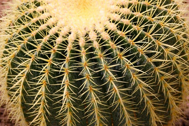 金黄桶式仙人掌echinocactus grusonii Echinocactus的特写镜头图象 纤管和多刺的仙人掌脊椎 库存照片