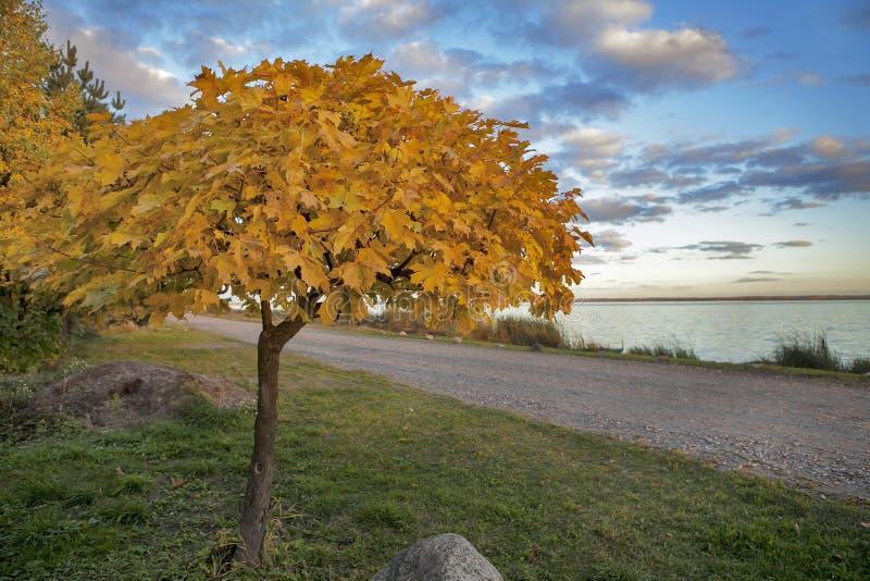 金黄槭树在蓝天背景离开 图库摄影