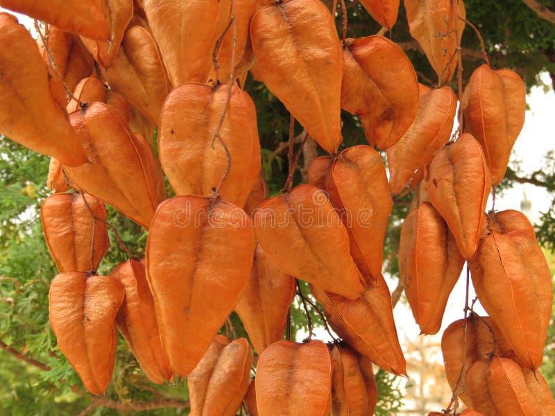 金黄橙色雨豆树, Koelreuteria paniculata,成熟种子荚特写镜头 免版税库存照片