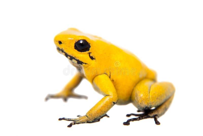 金黄毒物青蛙 库存图片