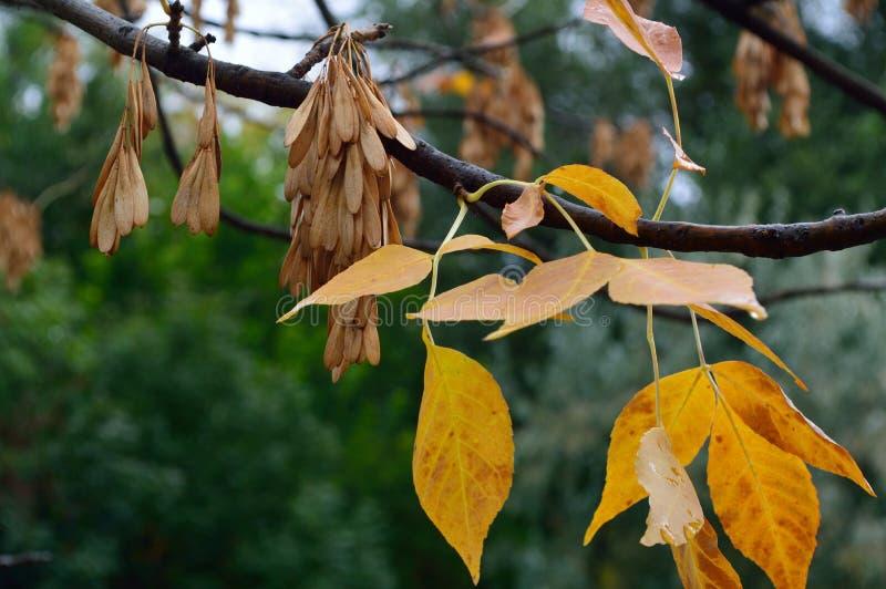 金黄灰岑属细刨花Jaspidea离开并且播种钥匙 库存图片