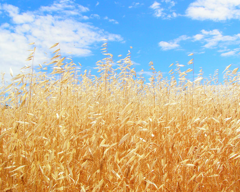 金黄燕麦 免版税库存图片