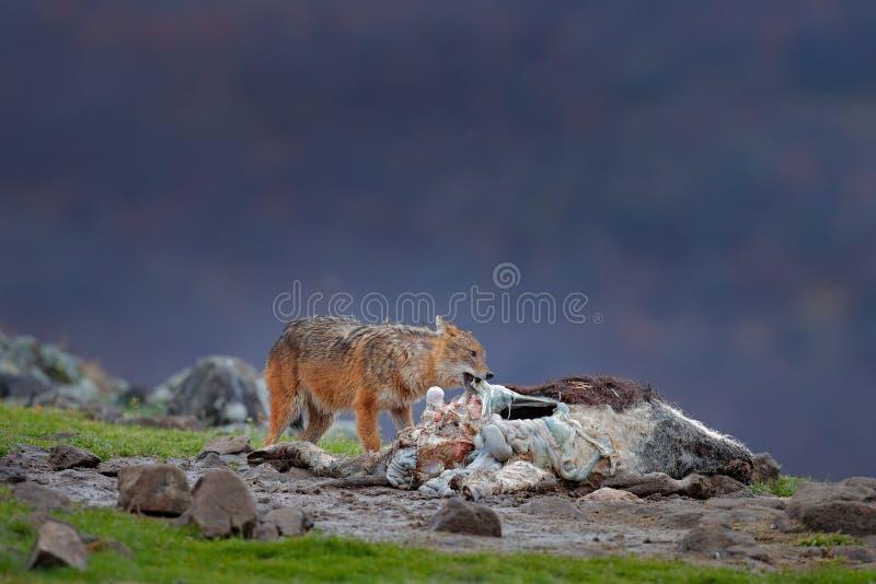 金黄狐狼,葡萄球菌的犬属,与尸体, Madzharovo,东Rhodopes,保加利亚的哺养的场面 野生生物巴尔干 豺狗behavio 库存照片