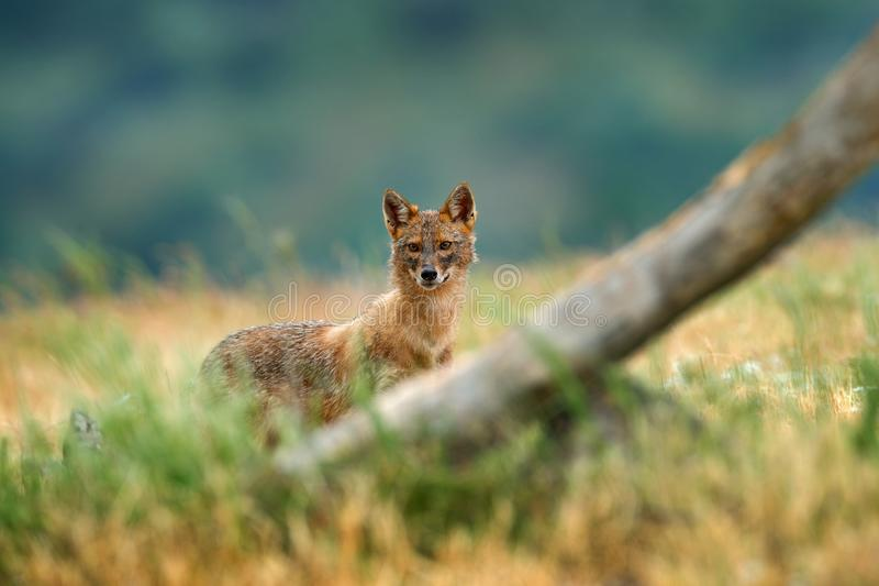 金黄狐狼,葡萄球菌的犬属,与草草甸, Madzharovo, Rhodopes,保加利亚的哺养的场面 野生生物巴尔干 豺狗行为 图库摄影