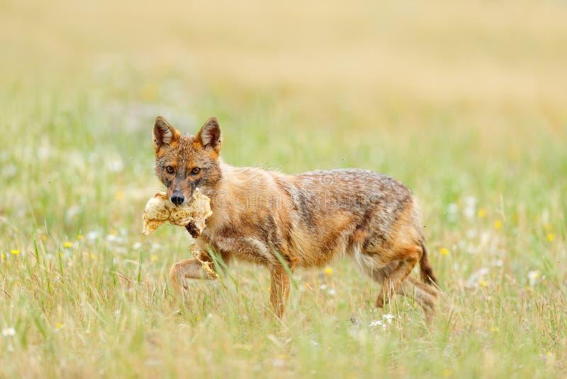 金黄狐狼,葡萄球菌的犬属,与草草甸, Madzharovo, Rhodopes,保加利亚的哺养的场面 野生生物巴尔干 豺狗行为 免版税库存照片