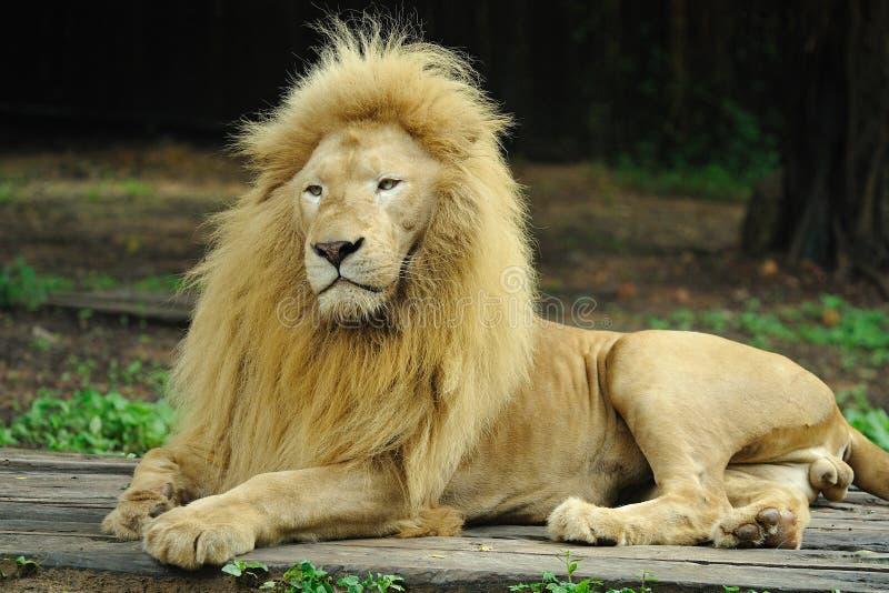 金黄狮子 图库摄影
