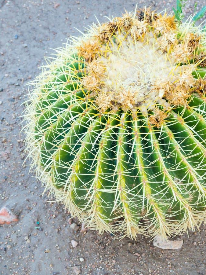 金黄球仙人掌Echinocactus grusonii背景,绿色 免版税库存照片