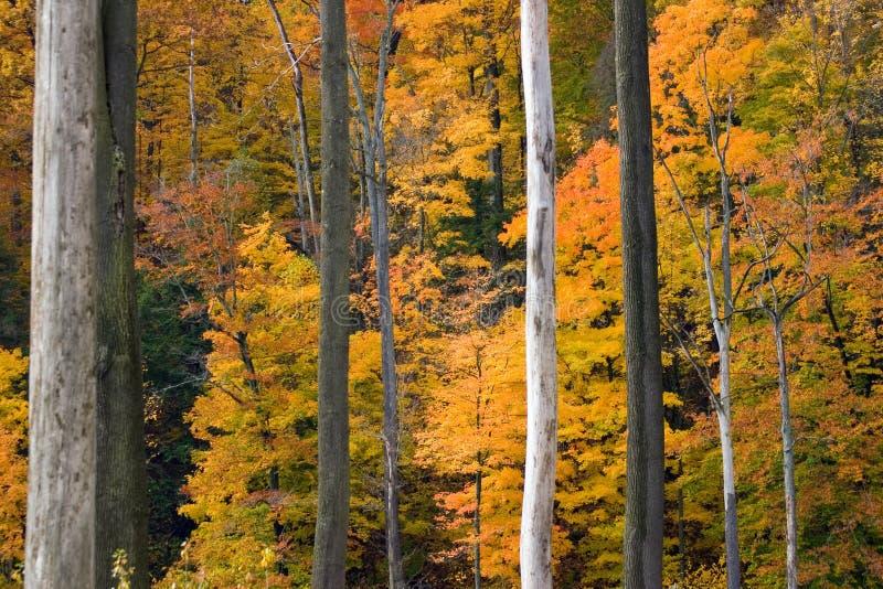 金黄的叶子 库存照片
