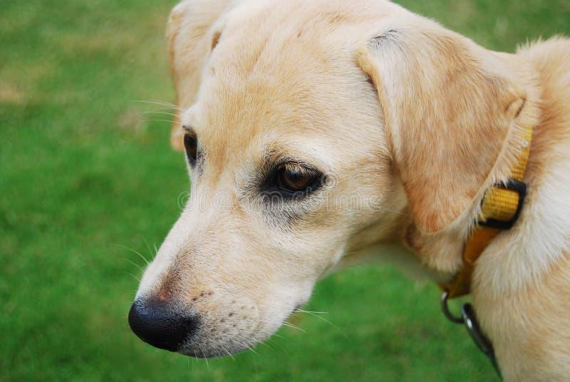 金黄的小狗 免版税图库摄影