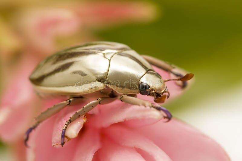 金黄的甲虫 免版税库存照片