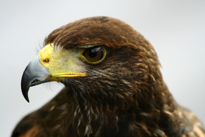 金黄的老鹰 免版税库存图片
