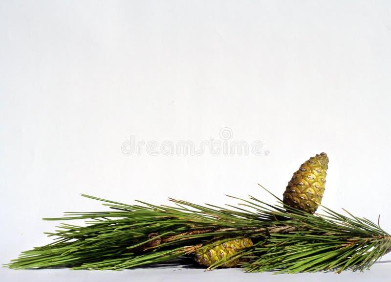 Download 金黄的锥体 库存图片. 图片 包括有 锥体, 空白, 绿色, 根据, 冷杉, 杉木, 详细, 结构树, 看板卡 - 300941