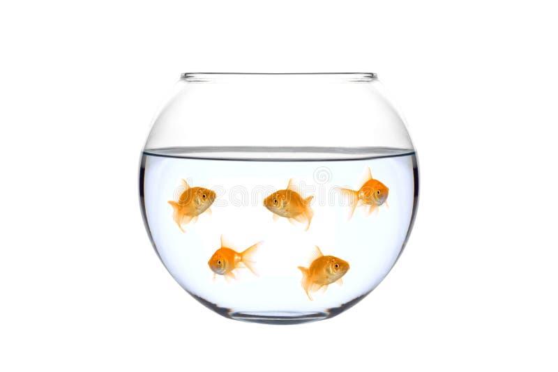 金黄碗的鱼许多 库存图片